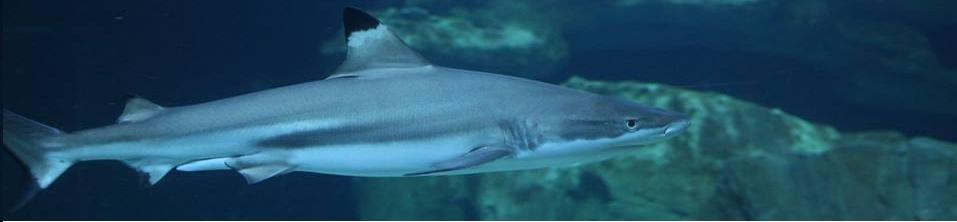 Kinkin le Requin